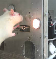 The rat in the Skinner box may cogitate little on why they have to press a lever for food, but human beings try to make sense of what is happening to them in ways which alter its impacts